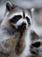 Oh No Raccoon 2014-09-12 18.07.36