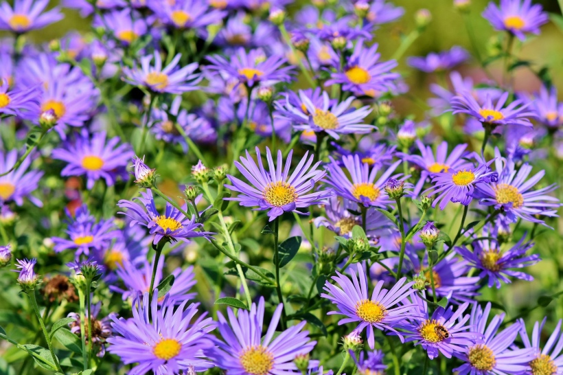Image of purple Aster Daisies by Capri23auto on Pixabay