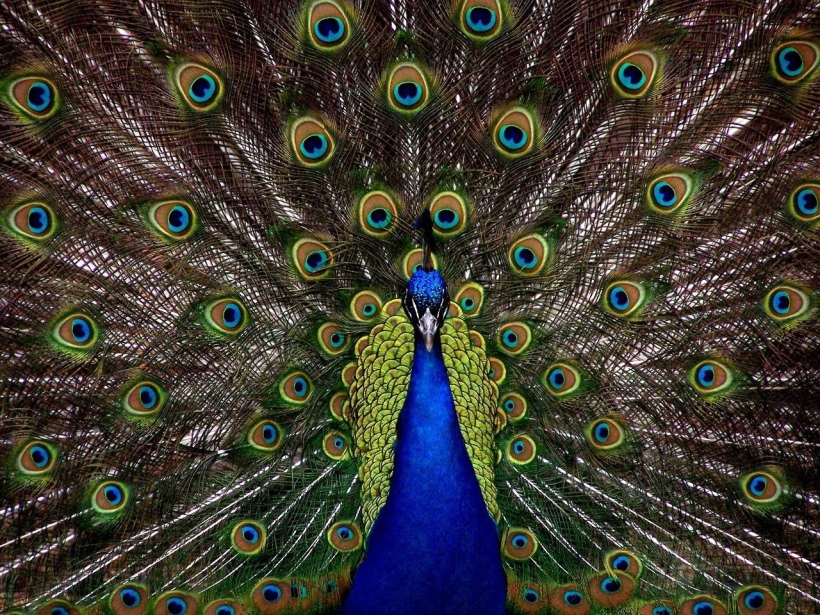 Peacock malapert know-it-all overconfident showy