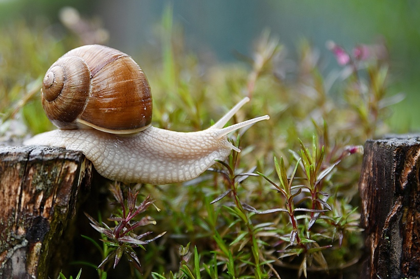 Image of a snail stretching from a log